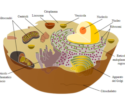 Gli organuli citoplasmatici