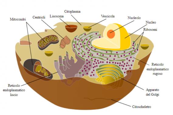 Cos'è la cellula | Struttura e composizione
