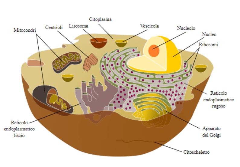 Cos'è la cellula. Composizione.