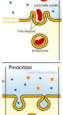 Il trasporto cellulare attraverso la membrana