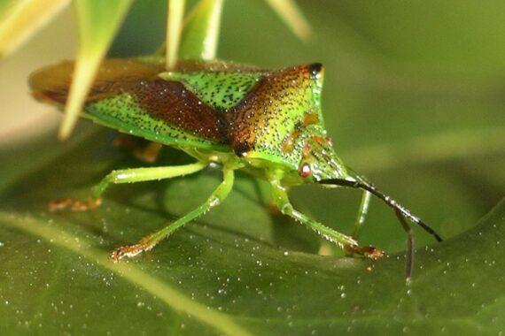 Acantosoma (Achantosoma)